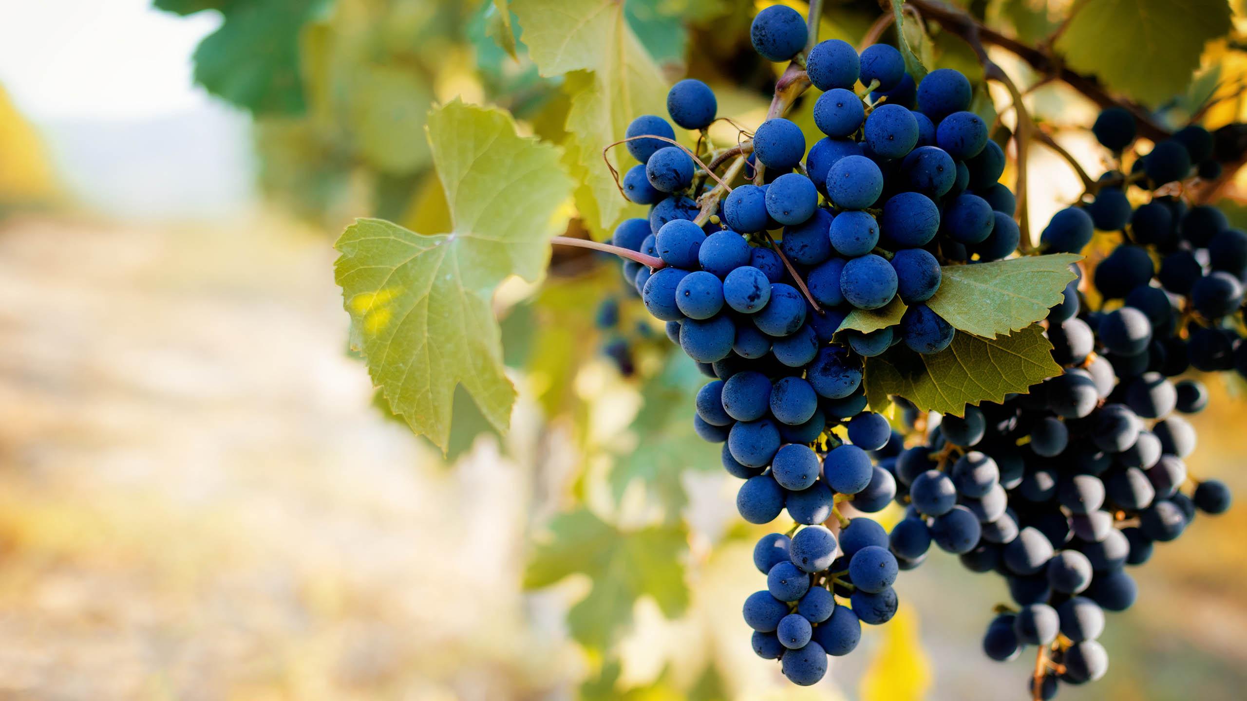 Barbera | Wine Guide | Virgin Wines