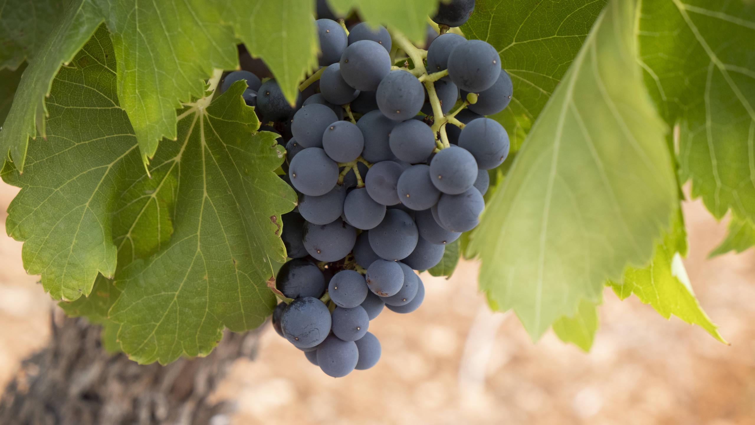 Carménère | Wine Guide | Virgin Wines