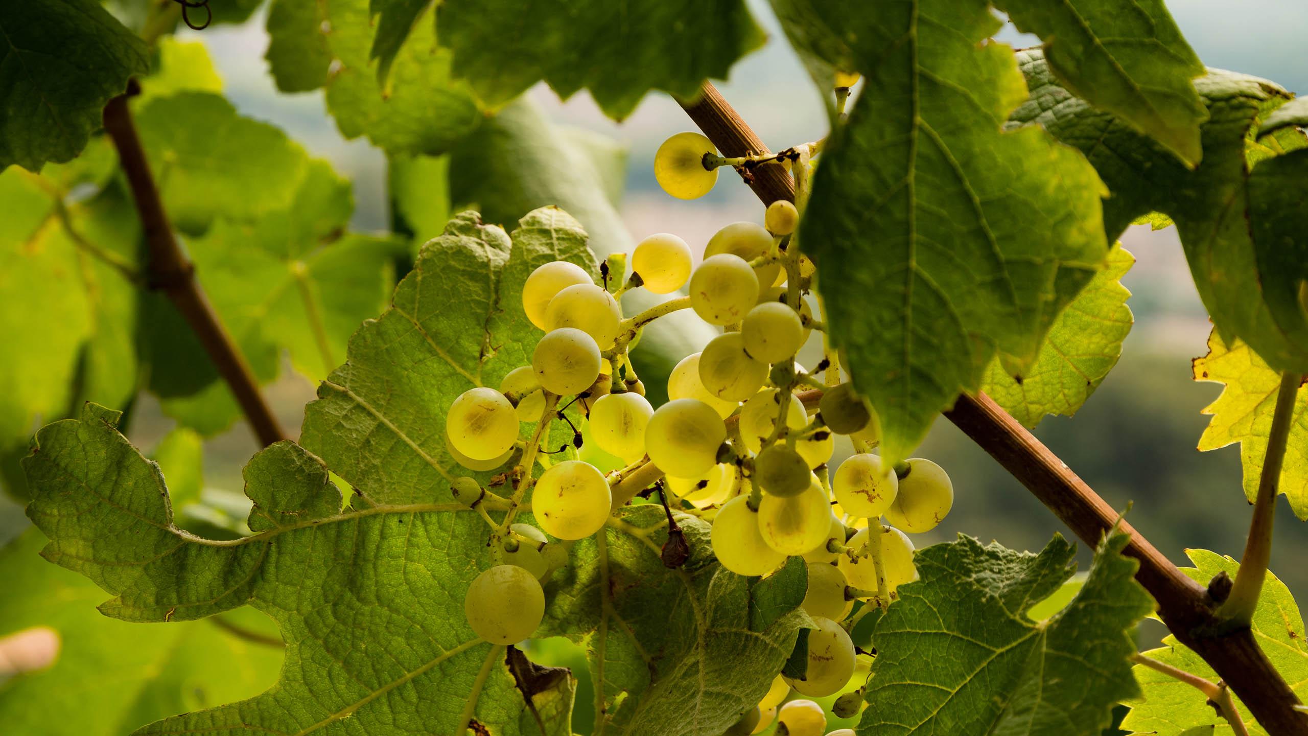 Glera (Prosecco) | Wine Guide | Virgin Wines