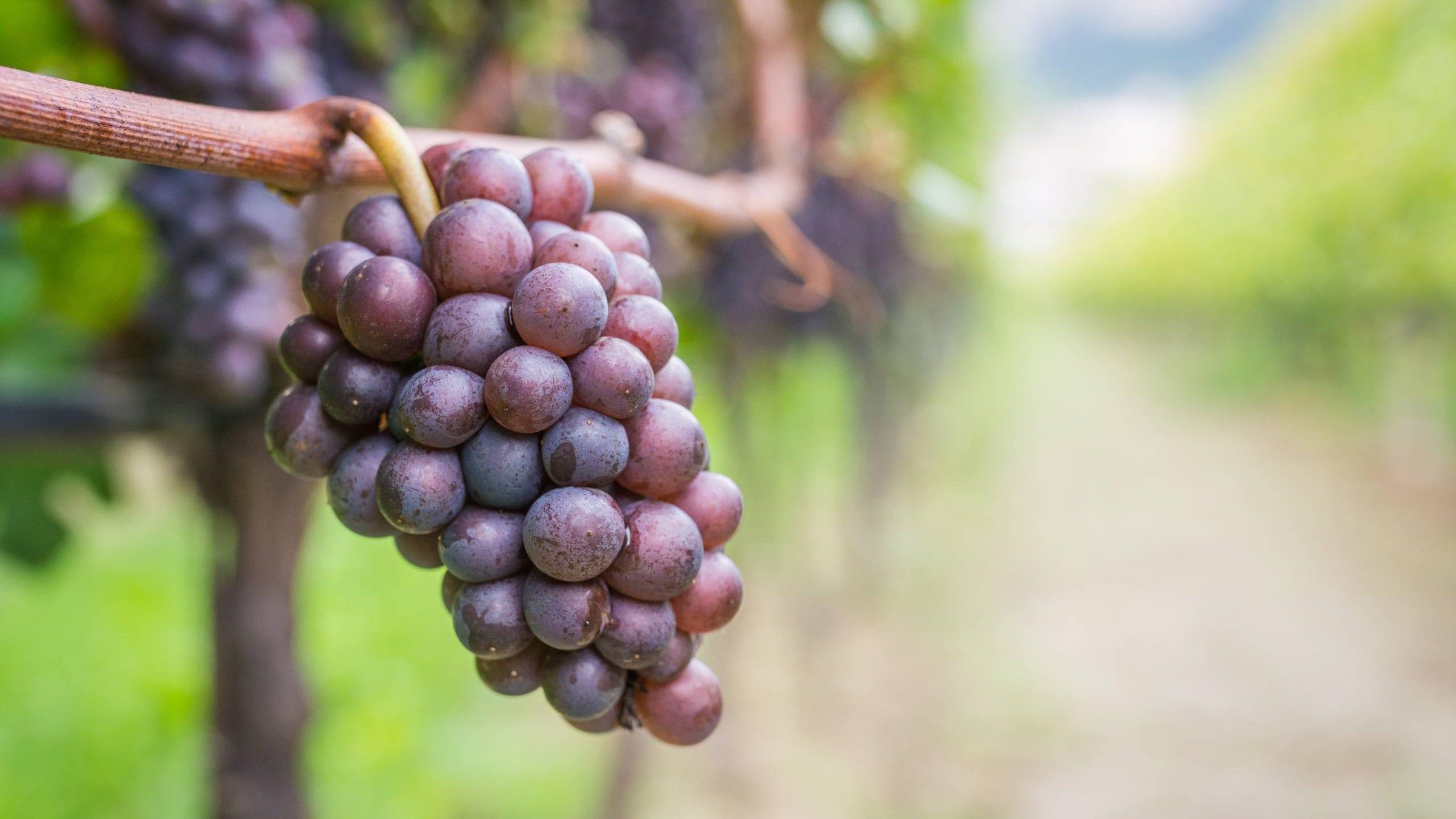 Why is Pinot Grigio So Popular?   Virgin Wines