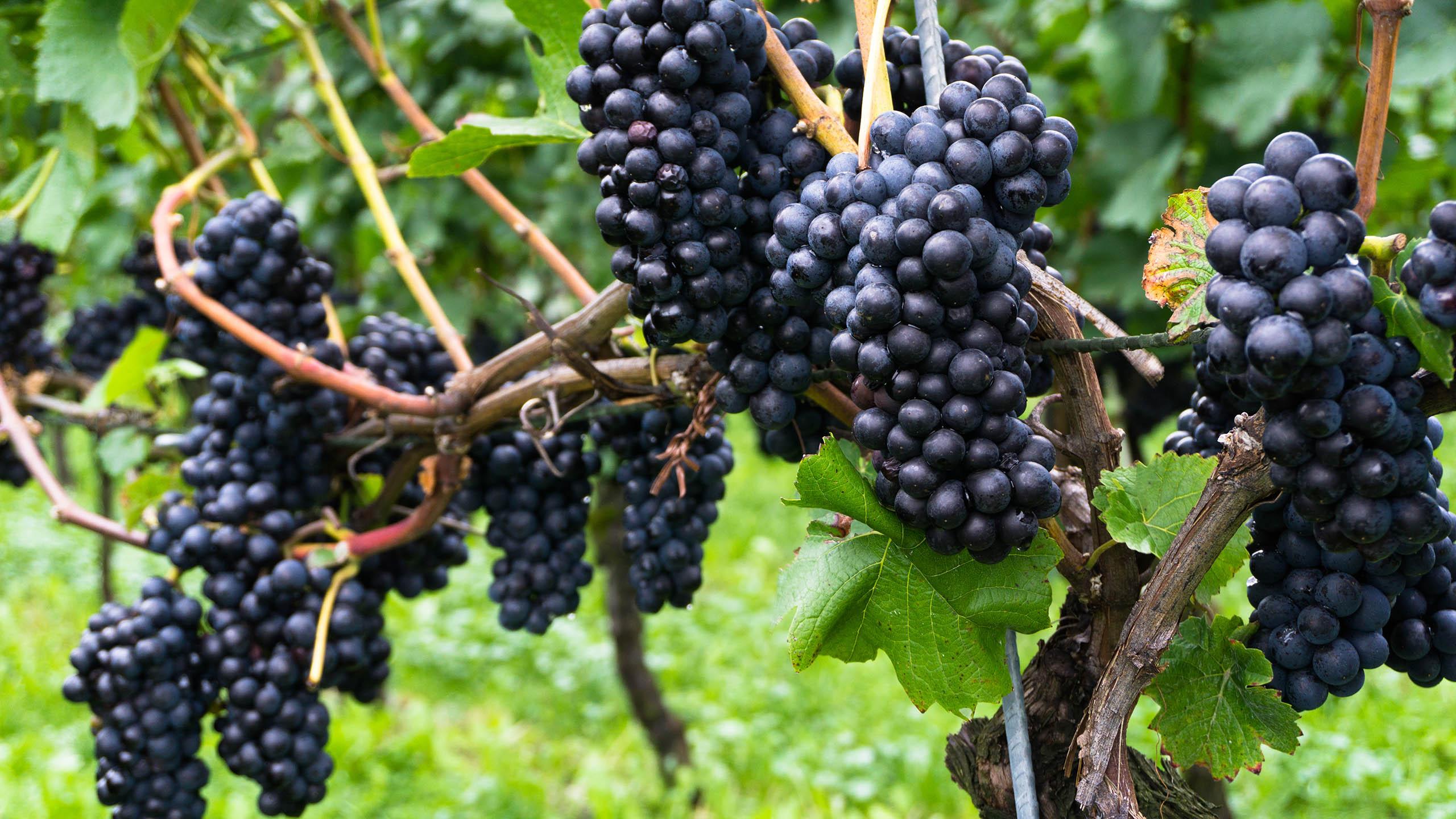 Pinot Noir | Wine Guide | Virgin Wines