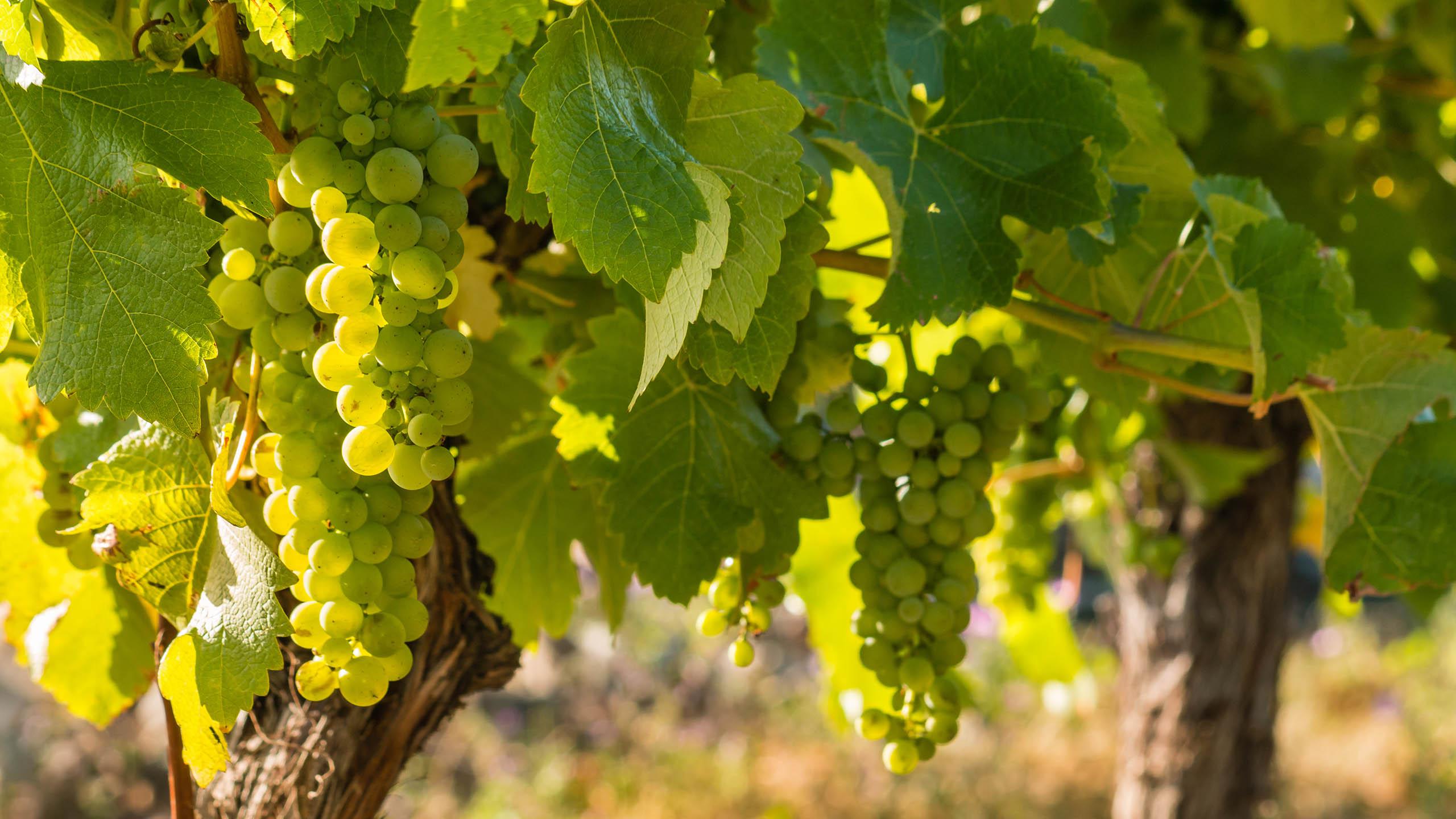 A Comprehensive Guide To Sauvignon Blanc | Wine Guide | Virgin Wines