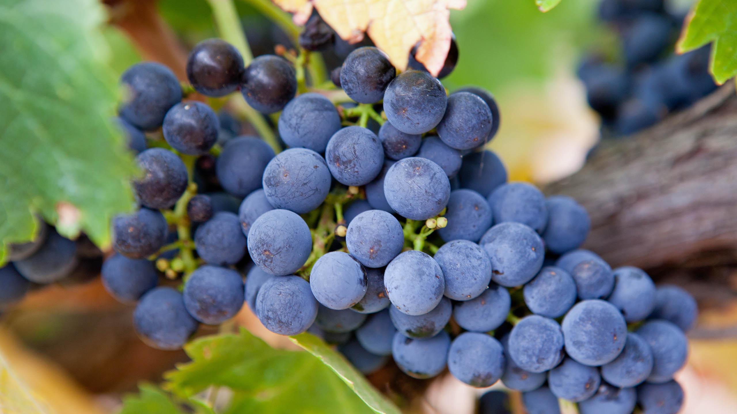 A Comprehensive Guide To Shiraz (Syrah) | Wine Guide | Virgin Wines